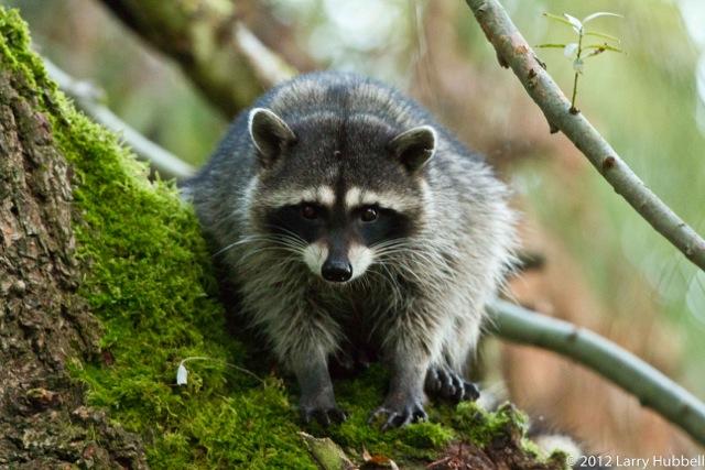 - raccoon_img_9690