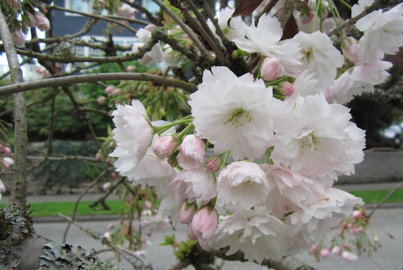 Montlake flowering cherry trees know your sato zakura montlaker tree weak delicately drooping wide spreading buds apple pink flowers double 20 30 petals large to 2 and mightylinksfo