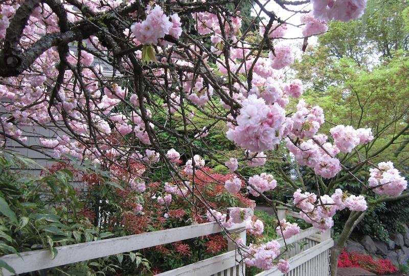 Montlake flowering cherry trees know your sato zakura montlaker temari mightylinksfo